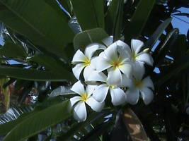 White Plumeria by Gingitsune-Lady-Fox