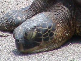 Sleeping Green Sea Turtle by Gingitsune-Lady-Fox