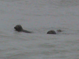 Seals off Nantucket by Gingitsune-Lady-Fox