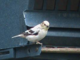 Unknown Bird by Gingitsune-Lady-Fox