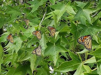 A madness of monarchs by TSofian