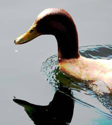 duck by acizej