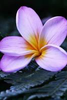 Pink frangipani by sourcow