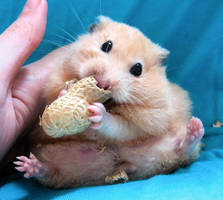 Chmurka has a peanut 2 by puchikumo