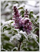 Spring Snow by TRBPhotographyLLC