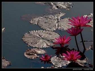 Lotus Morn by GeraldWinslow