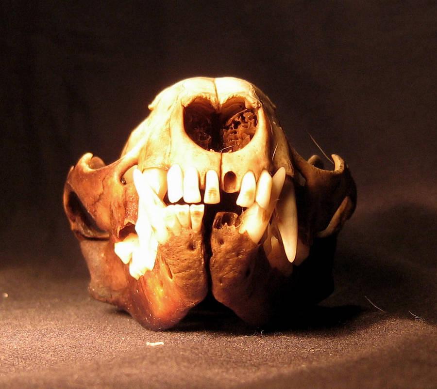 Raccoon skull front by lapis666 on DeviantArt