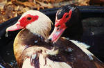 Muskovi Ducks by Cheez-it-eater