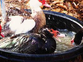 Muskovi Ducks 2 by Cheez-it-eater