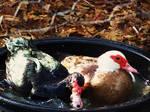 Muskovi Ducks 4 by Cheez-it-eater