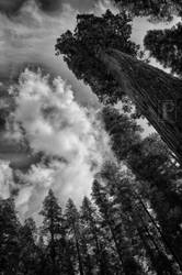 Giant Sequoia by JForbes1701