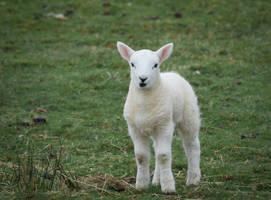 Little Sheep by RunaCorner