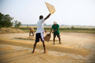 Fanning the rice grains by khurafati
