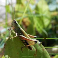 grasshopper by Takiako-Nakashi