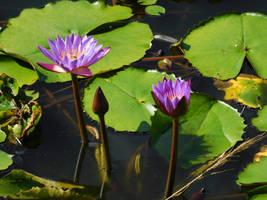 lotus by Takiako-Nakashi