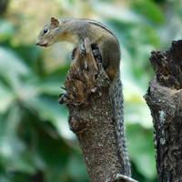 Indian palm squirrel by Takiako-Nakashi