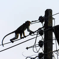 Macaque by Takiako-Nakashi