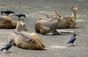 axis deer by Takiako-Nakashi
