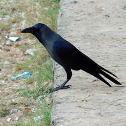 crow by Takiako-Nakashi