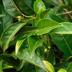tea leaves by Takiako-Nakashi