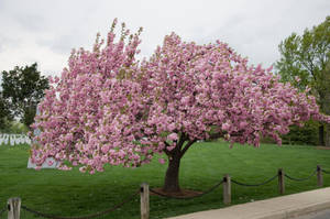 Cherry Blossoms Stock 11 by FairieGoodMother
