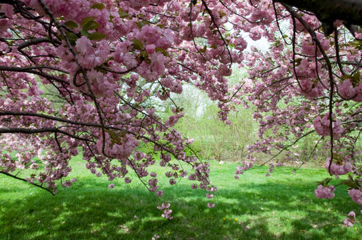 Cherry Blossoms Stock 24 by FairieGoodMother