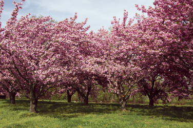 Cherry Blossoms Stock 31 by FairieGoodMother
