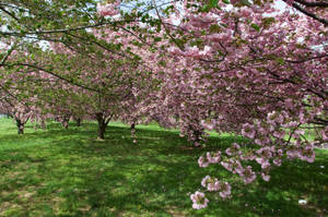 Cherry Blossoms Stock 39 by FairieGoodMother