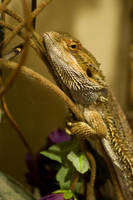 Bearded Dragon Stock 8 by FairieGoodMother