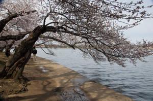 Cherry Blossom Festival 020 by FairieGoodMother