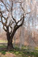 Fairmount Park  Cherry Blossoms 20 by FairieGoodMother