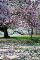 Fairmount Park Magnolia Blossoms 2 by FairieGoodMother