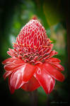 Island flower, Bora Bora island, south pacific by Gilberto694277
