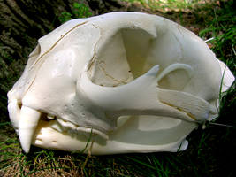 Cougar Skull by FossilFeather