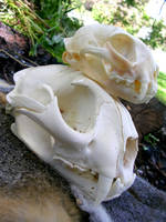 Cougar Bobcat Skull Stack by FossilFeather