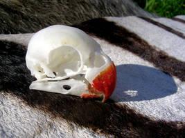 Fischer's Lovebird - Skull by FossilFeather