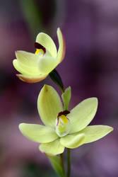 Bunny Orchid by Ratabago