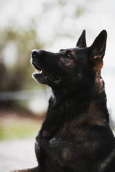 German shepherd I by RainySelection