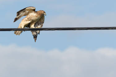 Hawk High Wire Act 5 by bovey-photo