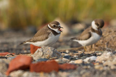 Plovers 1 by bovey-photo