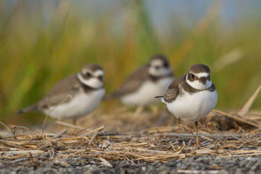 Plovers 6 by bovey-photo