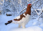 Needle felted Willow ptarmigan by Hillamer