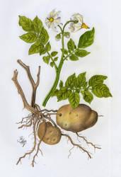 Potato by luisemaxeiner