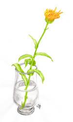 Pot Marigold :2: by Rosentod
