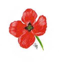 Pale poppy by Rosentod