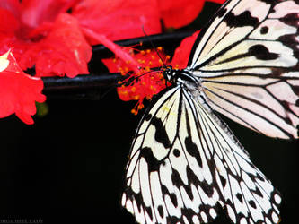 Butterfly by Miss-Mahawe