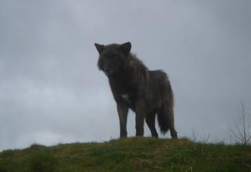 Black Wolf by FIGG-ManBearPigs