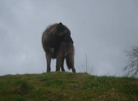 Black Grey Wolf by FIGG-ManBearPigs