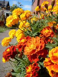 Marigold by HecateAn