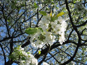 Cherry tree by BlackToucan